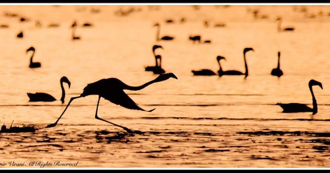 Flamingoes taking off at Naivasha at dawn