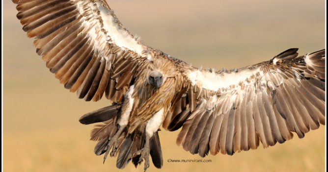 A White-backed Vultures lands at a carcass