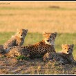 Shakira and her cubs