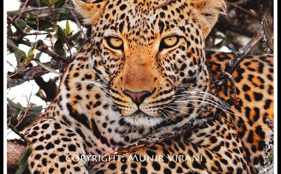 The son of Olive, legendary leopardess at the confluence of the Mara and Talek river. I had the opportunity to see this young male hunt a mongoose.
