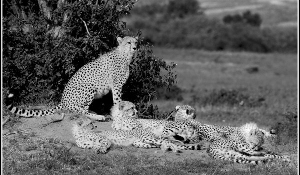 Shingo and her six cubs by the Talek River in Masai Mara
