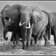 Tsavo Elephants ponder the drought of 2009