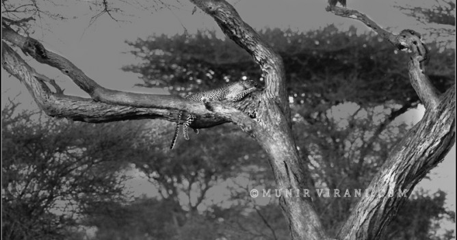 This leopard loves this tree in the Rhino Valley circuit of Kenya's Tsavo West National Park, one of the best places to observe this predator.