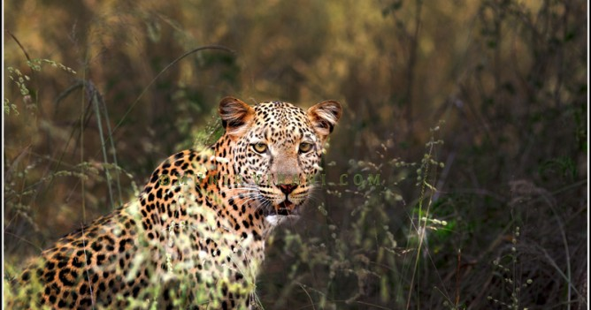 Despite have a tremendous array of large mammals, the leopard is the most sought after species. This one from Tsavo National Park is quite habituated to vehicles.