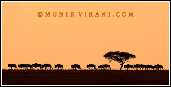 A herd of Blue Wildebeest (Connochaetes taurinus) walking towards the Mara River in the Masai Mara National Reserve Masai Mara. The picture was taken near Paradise plains in the Masai Mara National Reserve of Kenya. The picture was taken when the sun was going down in the late afternoon. It was taken by single exposure using a Nikon D300 and a Nikon VR lens 300mm with a shutter speed of 0.4s and an F stop of 6.3. The wildebeest were walking in a single file and the tree added to the image. I used some saturation and an orange filter to enhance the sunset colours. I took the image from my car using a bean bag.