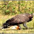 Martial Eagle on a thompson's gazelle