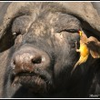 A Red-billed Oxpecker feeds from the eye of a Cape Buffalo