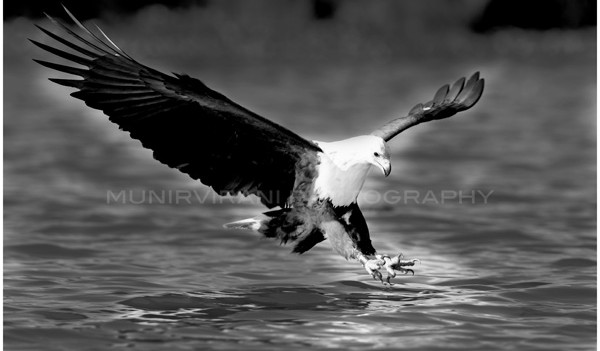 African Fish Eagle about to swoop on prey at Lake Naivasha